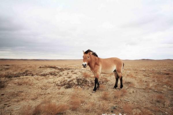 Przewalski's horse Wild Horse of Xinjiang Mongolia