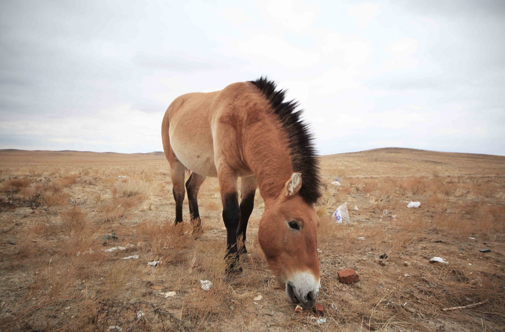 Przewalski's horse closeup