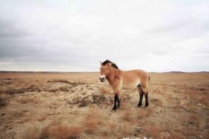 Year of the (Przewalski's) Horse